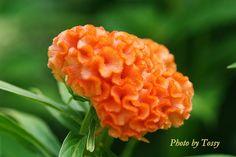 ケイトウ 'オレンジクイーン'