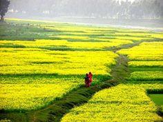 Beautiful mustard field...... Jamalpur, Bangladesh.