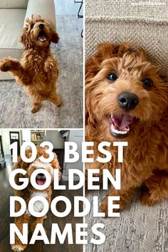Goldendoodles are a cross between Golden Retrievers and Poodles. They're not just for show, they make great family pets too! Here's some of our favorite names that would suit these happy dogs best. Funny Boy Names, Girl Dog Names, Goldendoodle Names, Goldendoodles, Most Popular Dog Names, Funny Talking Dog Videos, Dog Quotes Love, Dog Jokes, War Dogs