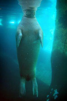 Pacific Walrus at SeaWorld San Diego