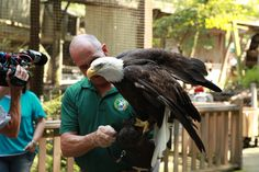 Eagle Mountain Sanctuary at Dollywood– the country's largest presentation of non-releasable bald eagles. Behind-the-scenes shot from Getting Away Together, a new travel show for PBS member stations
