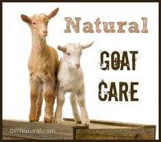 Raising Goats and How to Care for them Naturally – Raising goats can be challenging at first, but if you're privy to these tips, keeping and raising them naturally will benefit your family for years to come!