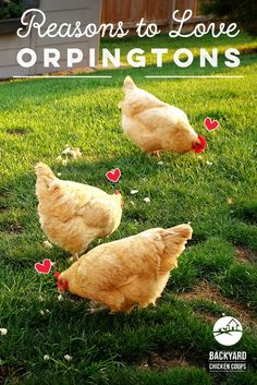 Orpington chickens are an all round fabulous chook! Not only are they egg-ceptional layers but they are also very affectionate pets. Check out our 5 reasons for why we love this breed here, http://www.backyardchickencoops.com.au/5-reasons-to-love-orpington-chickens #loveyourchickens #love #OrpingtonChickens