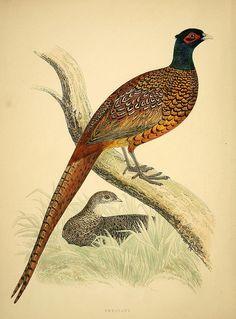 wapiti3: Common Pheasant (Phasianus colchicus)...