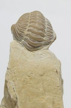 Natural Ordovician Trilobite Fossil 500 mya by FenderMinerals, $14.00