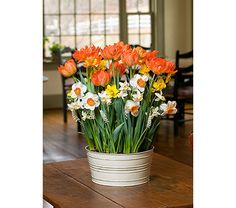 Apricot Marmalade Bulb Collection, 40 bulbs in 10 metal cachepot