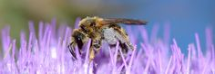 https://flic.kr/p/tW5Uqm | wild bee on thistle | in Fytema, Ikaria, Greece - June 8, 2015