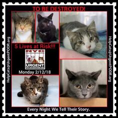 """TO BE DESTROYED 02/12/18 - - Info   Please share View tonight's list here:http:// nyccats.urgentpodr.org/ tbd-cats-page/. The shelter closes at 8pm. Go to the ACC website( http:/www.nycacc.org/ PublicAtRisk.htm) ASAP to adopt a PUBLIC LIST cat (noted with a """"P"""" on their profile) a… CLICK HERE FOR ADDITIONAL INFO/P...-  Click for info & Current Status: http://nyccats.urgentpodr.org/to-be-destroyed-32017/"""