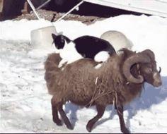 The Ten-Year Tour Of The Winter Mountains By Cat Upon Ram | The 21 Most Important Voyages By Animals Riding Animals