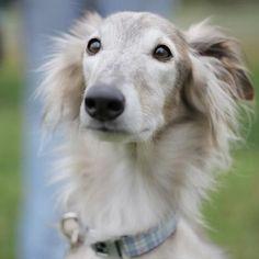 Silken Windhound Puppy Dog