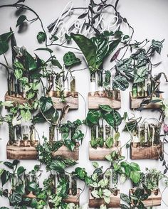 Propagation Station! Live edge wood blocks and test tubes hanging on a wall creates the effect of having a green wall or living wall. Some cuttings ideal for water-rooting as shown in this photo include: philodendrons, pothos, ivy, arrowheads, spider plants.
