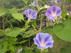 Good; Morning Glory! 07/2013