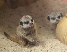 Meerkat kits <3
