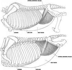 Horse Abdomen Anatomy