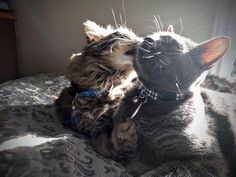 One cat likes to give baths and the other likes to get them https://i.redd.it/st1xl0wytuwx.jpg