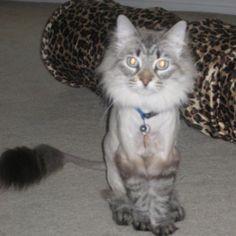 Shaving Cat Medium Haired Cats