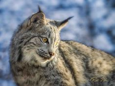Young Lynx by Rikk Flohr on 500px
