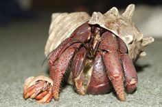 At the Information Center you can learn about hermit crab care and other topics with our care sheets and tutorials, read the Alaska Hermit blog, download our hermit crab coloring pages, and more.