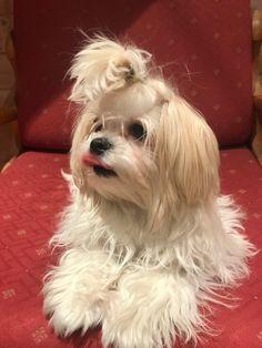 Malteser, Dogs, Animals, Long Length Hair, Animales, Animaux, Pet Dogs, Doggies, Animal