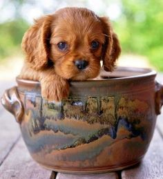 5 Cutest Teacup puppies you have ever seen - Angels on Earth