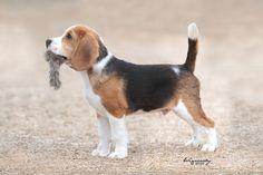 #Beagle #Dog Beagle Puppy