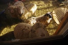 Home - Sweet Pea & Friends Sheep, Sunnies, Goats, Sweet Home, Animals, Animales, Sunglasses, House Beautiful, Animaux