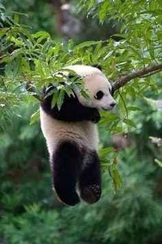 Bao Bao The Baby Panda Tumble Through The Snow Hanging Panda, I enjoy Panda's so much.Hanging Panda, I enjoy Panda's so much. The Animals, My Animal, Cute Baby Animals, Funny Animals, Baby Pandas, Baby Panda Bears, Images Of Animals, Nature Animals, Wild Life Animals