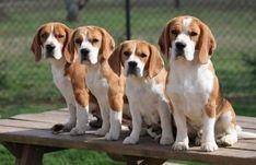Miller #beagle Pups   AKC Beagles Puppies For Sale   North Carolina