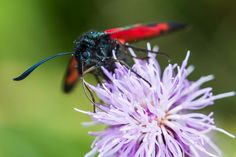 Burnet moth prodding for nectar on a purple flower.  Enjoy my other images of nature in full size by clicking on the thumbnail.  They are also available to buy in a variety for formats or as a digital download without the watermark. #macro