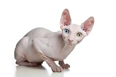 Mismatched eyes. #hairless #sphynx #cat
