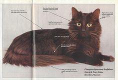 Chantilly Cat, Chantilly Tiffany, Cattery, Medium Long, Cat Breeds, Cats And Kittens, Puppies, Animals, Coat