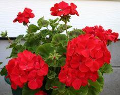 15 Geranium Film Coated MultiBloom Red Multi Bloom Zonal Geranium Seeds