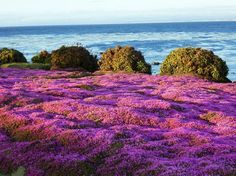 Flowers near Lovers Point on Oceanview Blvd, Pacific Grove, CA - Picture of Pacific Grove Oceanview Boulevard - Tripadvisor Pacific Grove California, Northern California Travel, California Love, Monterey County, Monterey Bay, California Pictures, Carmel By The Sea, Small Towns, Places To See