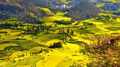 In early spring, the small county of Luoping, Yunnan Province, China turns yellow as the rapeseed flowers (also known as canola) burst into bloom. The best time to visit this 'sea of yellow' is from February through March.