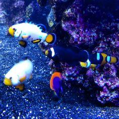 user clown grouper san pedro california 7seas tropical fish san clowns ...