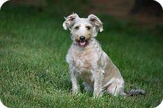 Howell, MI - Miniature Schnauzer/Italian Greyhound Mix. Meet Sasha, a dog for adoption. http://www.adoptapet.com/pet/15731763-howell-michigan-miniature-schnauzer-mix