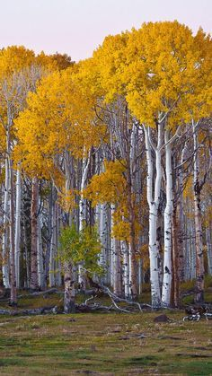 Aspen trees, a type of poplar tree
