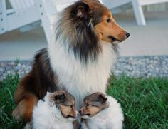 Shelties- Libby & babies! BellaRose Shelties