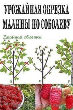 #обрезка #малины #для #большого #урожая