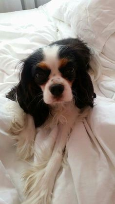 Cacalier King Charles Spaniel Bella