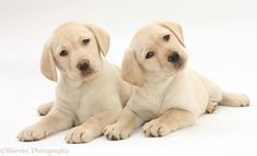 yellow lab puppies | WP28058 Yellow Labrador Retriever puppies, 9 weeks old.