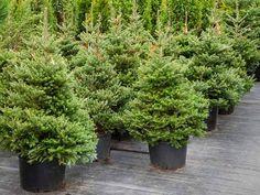 Ajánljuk: A dézsás karácsonyfa kezelése, http://kertinfo.hu/a-dezsas-karacsonyfa-kezelese/, ezekben a témakörökben:  #Díszkert #Díszkertinövény #Fák #Fenyő #Karácsony #Képek #Kert #Kertészkedés #Kéziszerszámok #Mag #Növény #Párásítás #Sövények #Tanácsésötlet #Tavaszi #télikert, írta: Megyeri Szabolcs