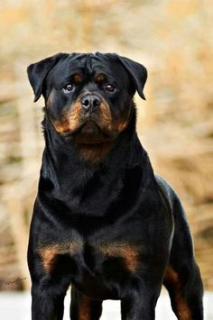 Rottweilers are not vicious. They are strong and loyal.