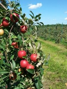 Apple Orchards in Gays Mills, WI