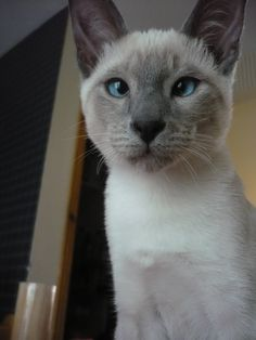 My blue point siamese cat - TOM when he was a baby :)