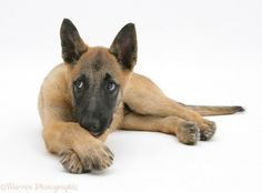 Belgian Shepherd Dog -pup