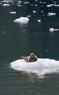 Harbor seal sunning itself, Kenai Fjords National Park