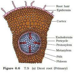 dicot root diagram lambretta stator plate wiring detailed structure of a portion naveen pinterest cell university houston college organization