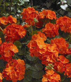 Geranium Maverick Orange - Annual Flower Seeds