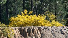 golden wattle Photography, Photograph, Fotografie, Photoshoot, Fotografia